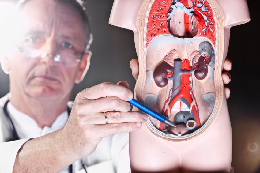 Médico urologista indicando próstata em miniatura do corpo humano | Entenda tudo sobre a estenose uretral